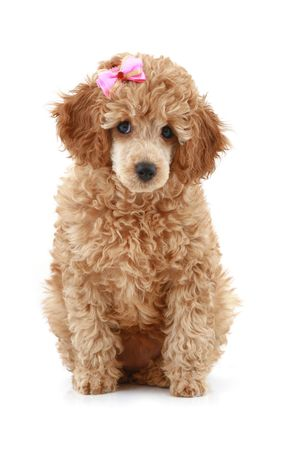 Small apricot poodle with pink bow over white background