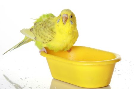 The wet, just bathed yellow parrot Stock Photo