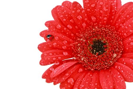 Single red gerbera flower with ladybird, isolated on white background photo