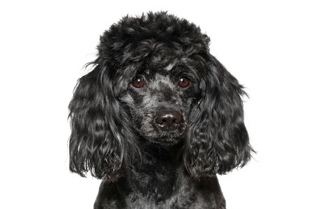 Black poodle isolated on white background Stock Photo