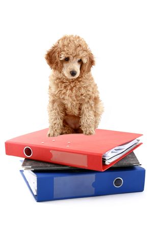 Loose-leaf binders with apricot poodle over white background Stock Photo