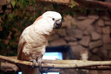 Australian white cockatoo on branch photo