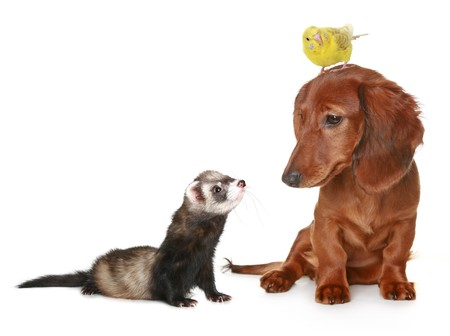 Brown dachshund, budgerigar and freet on a white background Stock Photo