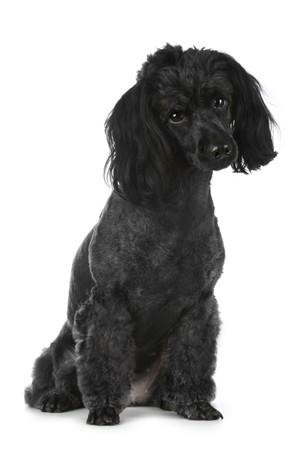 Black poodle sitting on white background Stock Photo