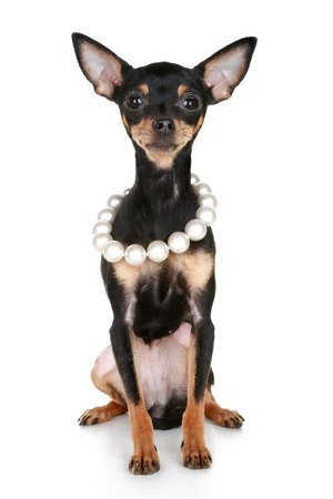 Russian sleek-haired toy terrier puppy with beads of pearls sits on a white background (funny pict)