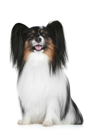 Papillon breed dog portrait on a white background