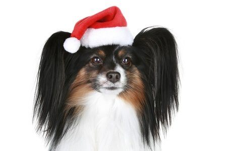 Papillon: Papillon breed dog in red christmas hat on a white background