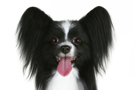 Close-up portrait of a papillon breed dog. Isolated on a white background photo