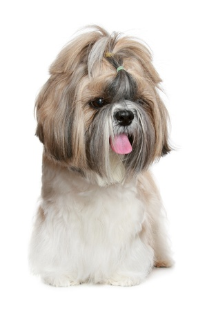 Shih tzu dog, isolated on a white background