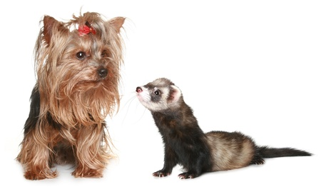Yorkshire Terrier and freet on a white background