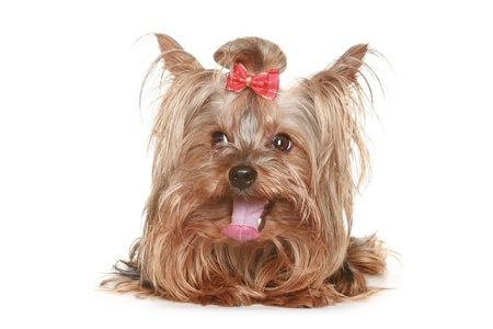 funny Yorkshire terrier puppy with red bow. isolated on white background Stock Photo - 8397658