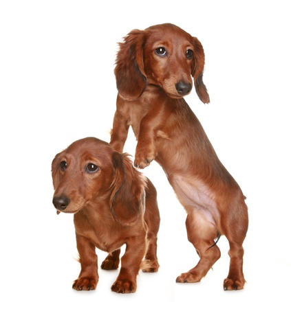 Two little brown long haired Dachshund dog Stock Photo