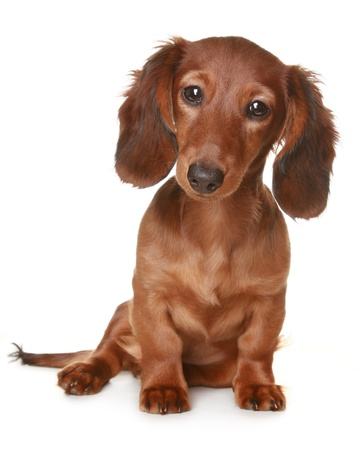 Little brown long haired Dachshund dog photo