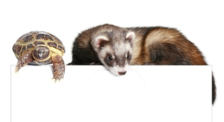 Ferret and tortoise on a white background