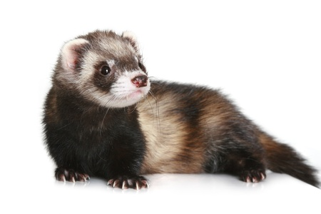 Ferret (Mustela putorius furo) on white background