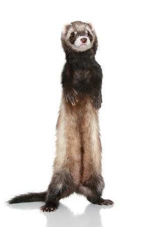 Ferret (Mustela putorius furo) on white background