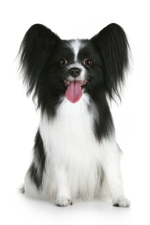 Papillon breed dog on a white background Stock Photo
