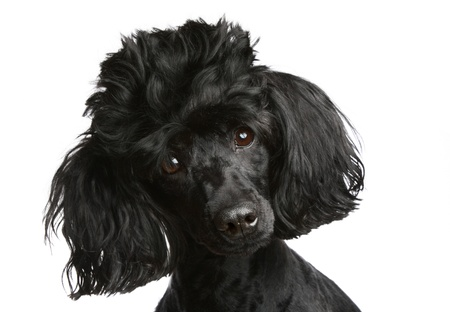 Poodle close-up portrait. Isolated on a white background (studio shoot),