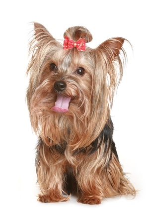 Yorkshire Terrier puppy, isolated on white background