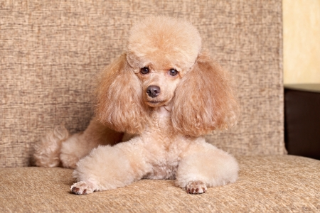 Miniature poodle dog lying on brown background