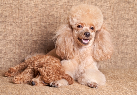 miniature poodle: Miniature Poodle mother lying near puppy