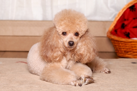 Miniature brown poodle resting on soft, flat surface Stock Photo