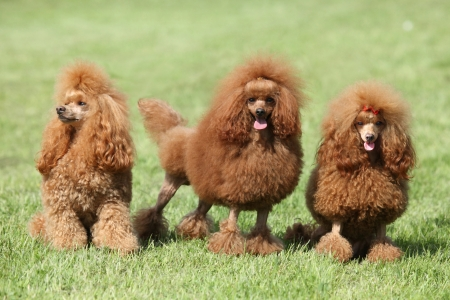 Three red poodle posing on the lawn  Outdoor portrait Stock Photo