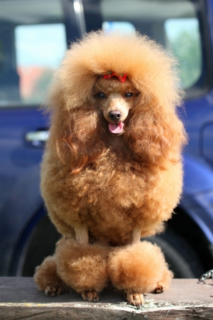 groomed: Red groomed Toy Poodle portrait Stock Photo