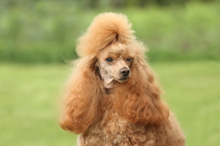 Red Dwarf poodle  Close-up portrait  shallow dof  Stock Photo