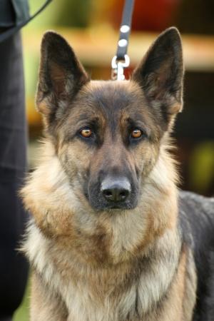 Long-haired German shepherd dog  Outdoor Portrait photo