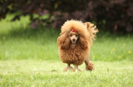 Toy Poodle puppy posing over the meadow