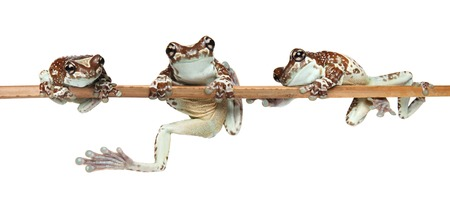 Three funny frogs on a branch isolated on white