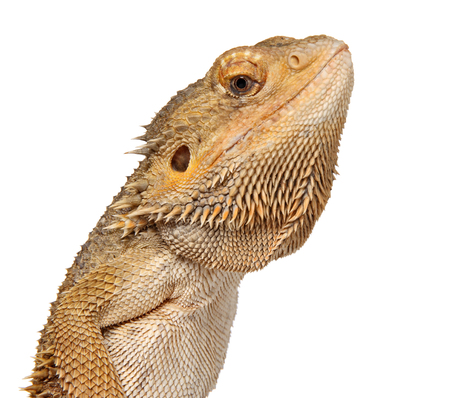 Close-up of Bearded Dragon lizard. isolated on white background Stockfoto