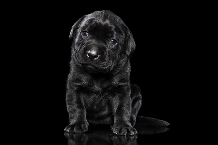 Labrador retriever puppy on black background. Baby animal theme Stok Fotoğraf