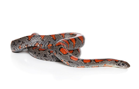 Mexican Royal snake crawling on white background Stock Photo