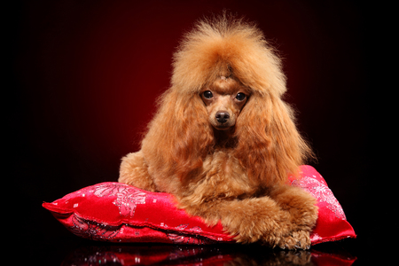 Young toy Poodle lying on a red pillow. Animal themes Standard-Bild