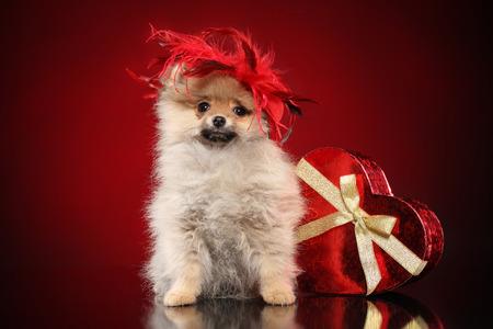 Romantic Pomeranian spitz puppy in red hat near valentine heart on dark background. Baby animal theme