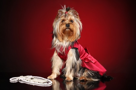 Fashionable Yorkshire Terrier on dark red background. dog fashion dog clothes Stock Photo