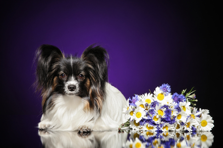 Papillon dog with a bouquet of flowers lying on a dark background