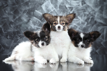 Group of Beautiful Papillion dog puppies on abstract gray background. Baby animal theme Фото со стока