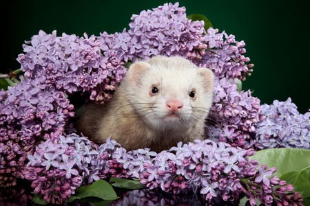 Ferret hiding and resting in the branches of lilac on a green background 版權商用圖片