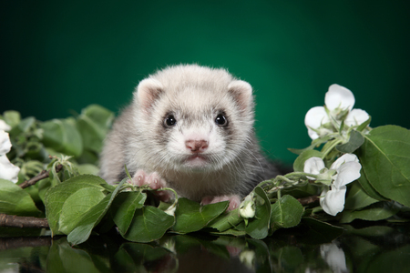 Ferret puppy in green leaves. Baby animal theme