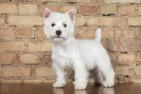 West Highland White Terrier dog against a brick wall. Animal themes