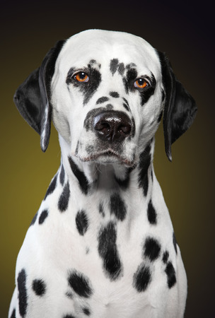 Unhappy Dalmatian dog. Close-up portrait on dark yellow background. Animal themes Stok Fotoğraf