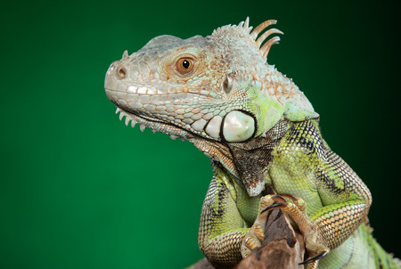 Close-up of Green Iguana on dark green background. Animal themes