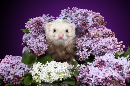 Ferret in lilac branches. Studio shot. Animal themes