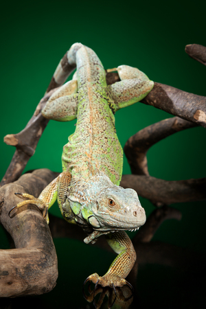 Portrait of a large green Iguana crawling on a branch on dark-green background. Animal themes