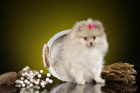 Pomeranian spitz puppy in wicker basket on dark yellow background Foto de archivo