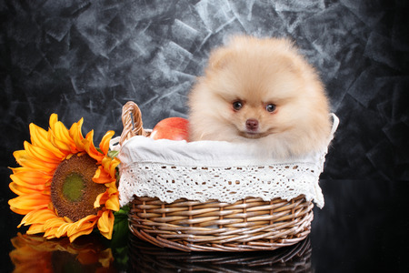 Pomeranian Spitz puppy sits in wicker basket on dark-gray background. Baby animal theme