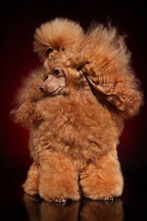 Portrait of a Red Toy Poodle on a dark background.